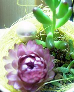 かわいいプリプリ植物